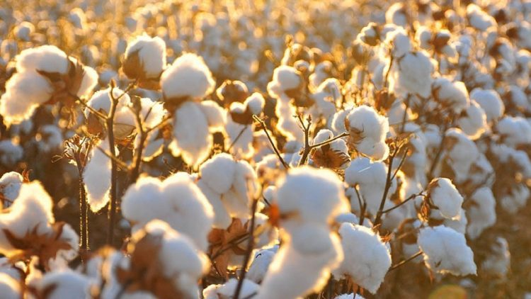 What is the Difference Between Organic Cotton and Regular Cotton?